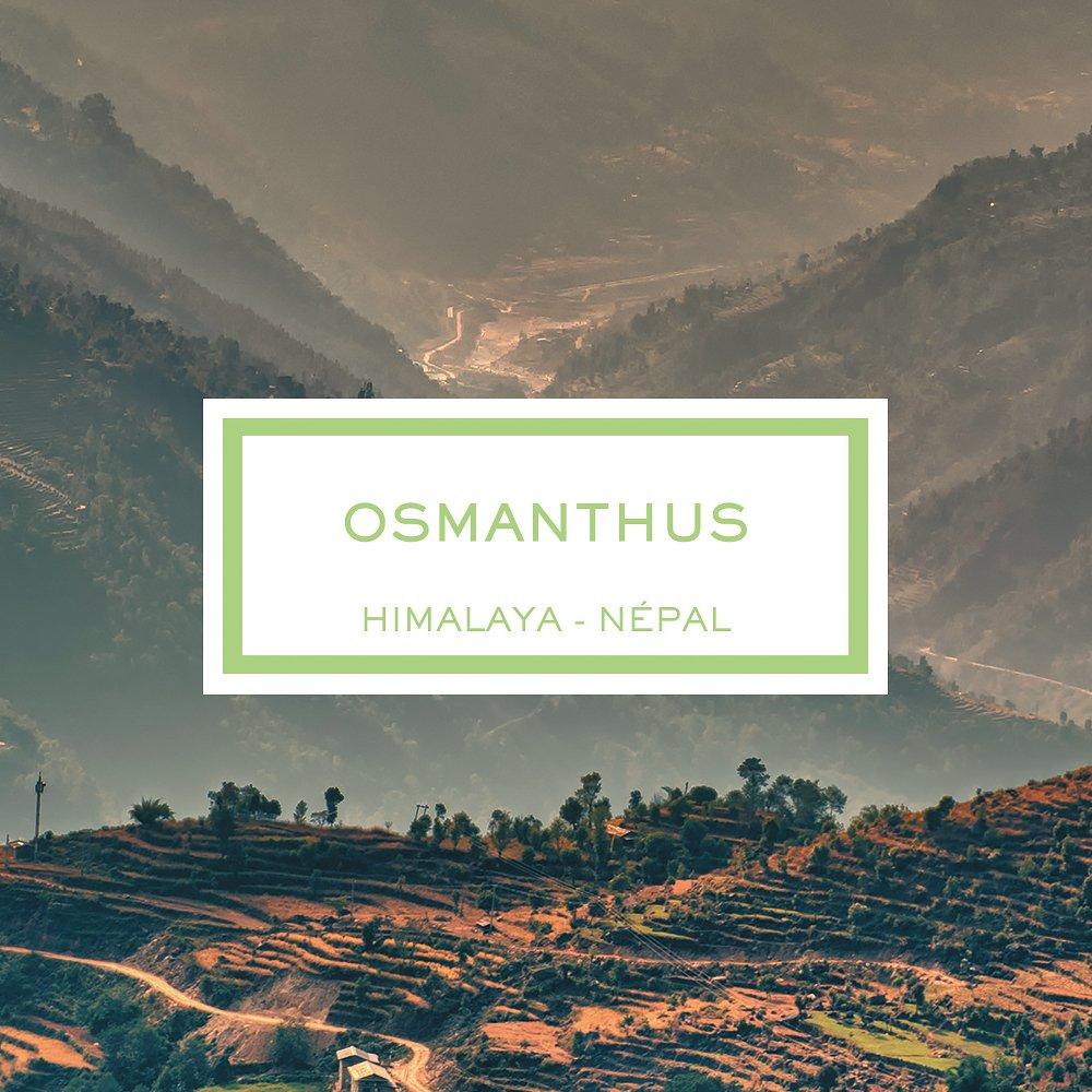 Osmanthus, Himalaya - Népal, Bougie Parfumée